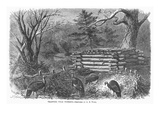 Trapping Wild Turkeys  1868