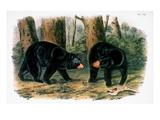 American Black Bear  1844