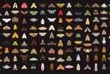 Pachanga Moths from Ecuador