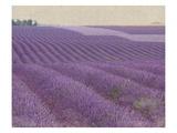 Lavender on Linen 1
