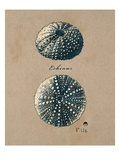 Vintage Linen Sea Urchin