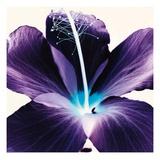 Plum Hibiscus