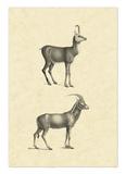 Vintage Antelope