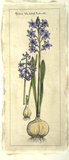 Embellished Hyacinth I