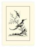 Greater and Lesser Hummingbird  c1742