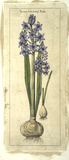 Embellished Hyacinth II
