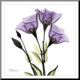 Gentian in Purple Reproduction montée par Albert Koetsier