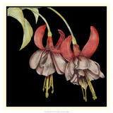 Graphic Fuchsia II