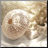 Coral Shell I Reproduction montée par Donna Geissler