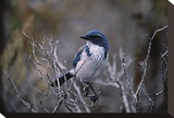 Scrub Jay