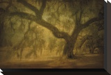 Avery Island Oaks  Study 10