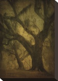 Avery Island Oaks  Study 2
