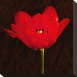 Red Tulip II