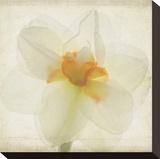 Double Daffodil I