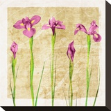 Antique Iris I