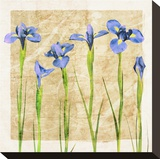 Antique Iris II