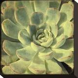 Green Rose III