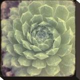Green Rose I
