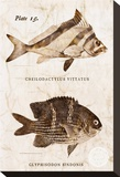 Vintage Fish: Cheilodactylus Vittatus  Morwong and Glyphisodon Sindonis  Damselfish