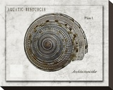 Shell: Architectonicidae  Staircase Shell