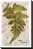 Vintage Fern: Genus Dryopteris  Wood Fern