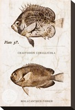 Vintage Fish: Chaetodon Corallicola and Holacanthus Fisheri  Sunburst Butterflyfish and Angelfish