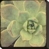 Green Rose II