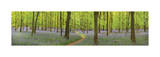 Bluebell Woods Panorama