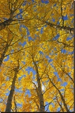 Trembling Aspens in Autumn