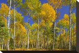 Trembling Aspens Turning Color