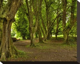 Killarney Yew Trees  Ireland