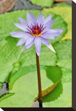 Water Lilly I