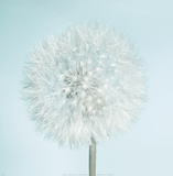 Dandelion II