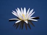 Water Lilies  Botswana