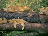 Lions Sleeping  Panthera Leo  Masai Mara Reserve  Kenya