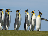 King Penguins Courting  Aptenodytes Patagonicus  Falkland Islands