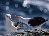 Black-Browed Albatrosses Courting  Thalassarche Melanophrys  Falkland Islands