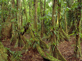 Buttressed Trees  Cockscomb Basin Wildlife Sanctuary  Belize