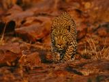 Leopard Male Stalking  Panthera Pardus  Namibia