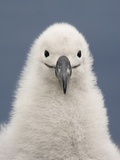 Black-Browed Albatross Chick  Thalassarche Melanophrys  Campbell Island  New Zealand