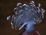Victoria&#39;s Crowned Pigeon  Goura Victoria
