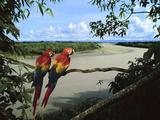 Scarlet Macaws Overlooking Tambopata River  Ara Macao  Tambopata National Reserve  Peru