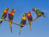 Rainbow Lorikeets  Trichoglossus Haematodus  Southeast Australia