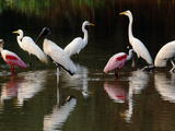 Great Egrets  Ardea Alba  Wood Storks  Mycteria Americana  and Roseate Spoonbill  Pantanal  Brazil