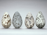 Common Murre Eggs  Uria Aalge  Western Foundation of Vertebrate Zoology