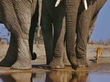 African Elephants  Loxodonta Africana  and Impala  Aepyceros Melampus  Chobe Nat'l Park  Botswana