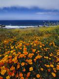 California Poppies, Eschscholzia Californica, Big Sur, California Papier Photo par Frans Lanting