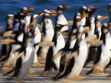 Gentoo Penguins Running  Pygoscelis Papua  Falkland Islands