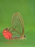 Glass-Wing Butterfly  Cithaerias Aurorina  Manu National Park  Peru