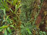 Epiphytes in Cloud Forest  Mt Kinabalu National Park  Sabah  Borneo